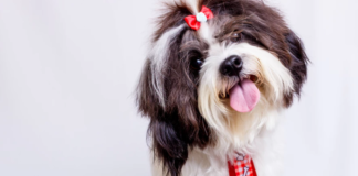 Dog with hair bows