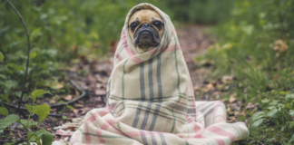 Pug covered with blanket