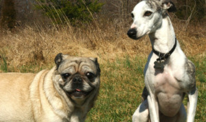 Pug with other dog