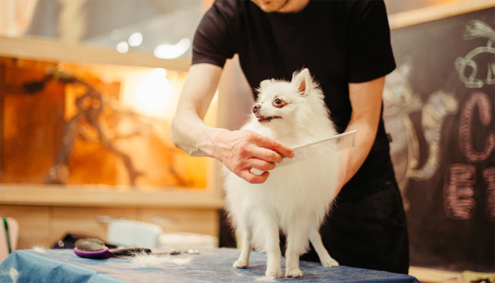 White dog being groom by a man