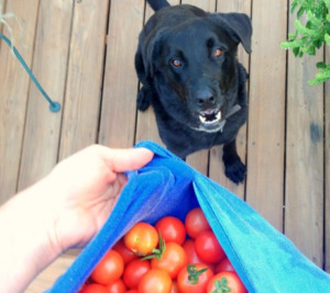 Black dog staring at tomatoes