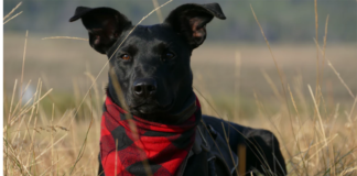 Black dog with bandana