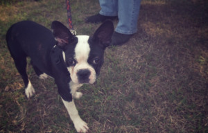 Boston Terrier with a leash