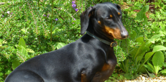 Dachshund Dog Black