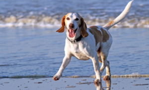 Dog Beagle on a seashore