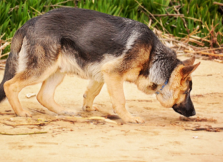 Dog smelling the ground