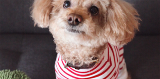 Dog wearing stripe dress