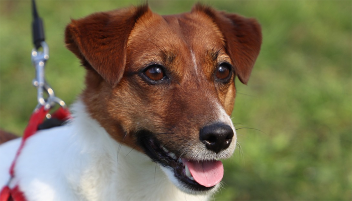 All About the Jack Russell