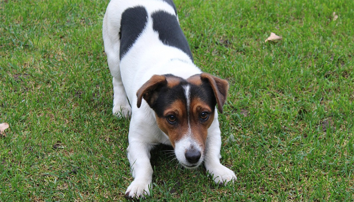 Fun Activities for a Jack Russell Terrier