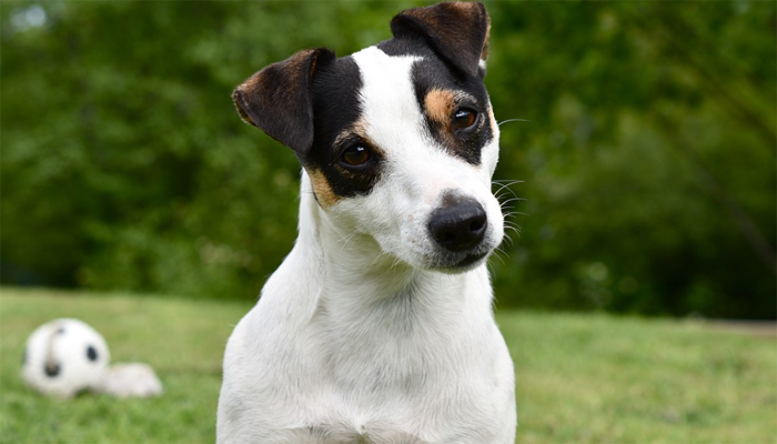 7 Best Dog Foods for Jack Russell Terriers