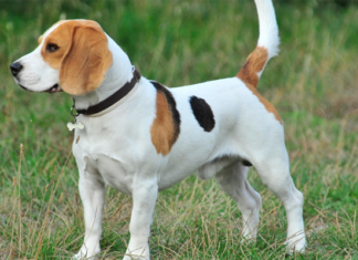 Small Beagle Dog