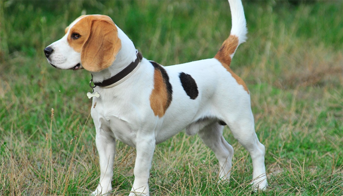 Dwarfism in Beagles (Guide and Information)