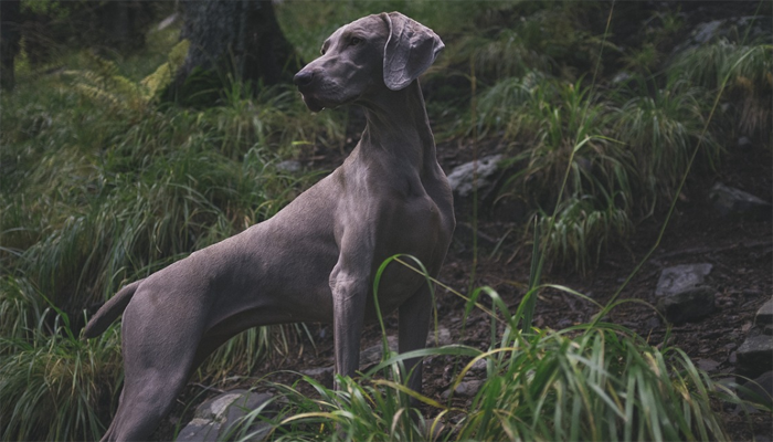 The Weimaraner: Breed Characteristics