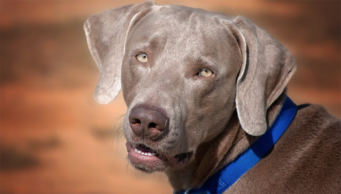 Introducing the Weimaraner