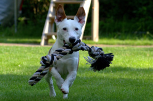 White Jack Russell carrying rope