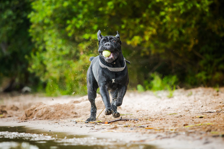Games and Activities for a Cane Corso