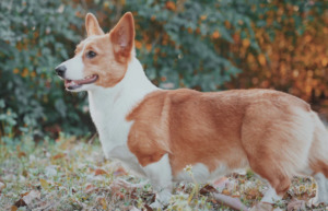 Brown and white Corgi standing on the grass