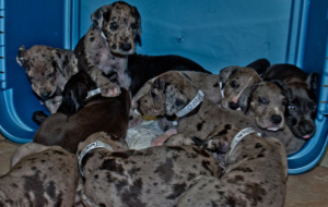 Great Dane Puppies on a blue crate