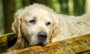 Sad Golden Retriever Dog