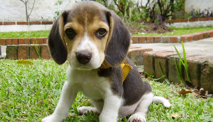 Beagle Puppies Buyers Guide