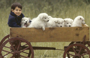 Child and Samoyed puppies on the cart