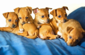 Five Chihuahua Puppies
