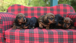 Five Dachshund puppies on a couch