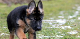 German Shepherd Puppy Walking