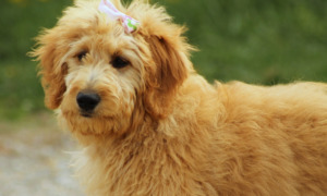 Goldendoodle with a ribbon on head