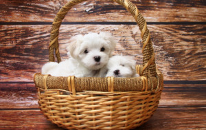 Maltese puppies on a basket