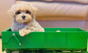Maltipoo Puppy on a toy cart