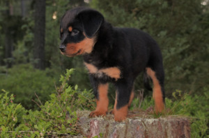 Rottweiler puppy at the forest