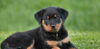 Rottweiler puppy on the field of grass