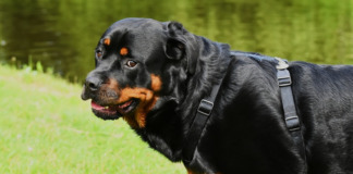 Senior Rottweiler dog