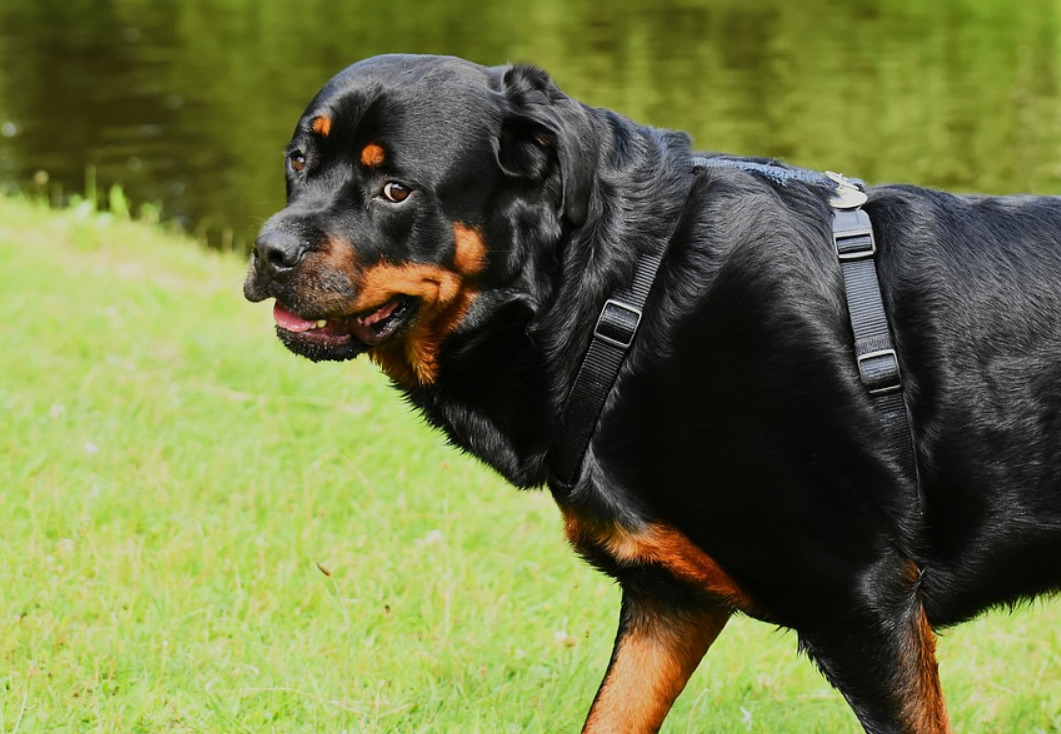 Best Dog Food for Rottweilers in 2021