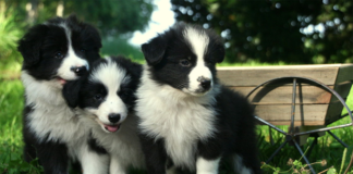 Three Border Collie Puppies