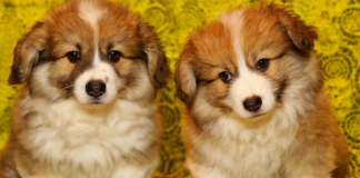 Two Corgi Puppies