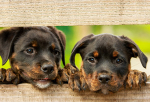Two Rottweiler puppies