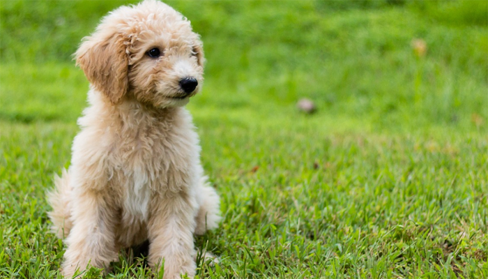 Best Dog Food for Goldendoodles in 2021