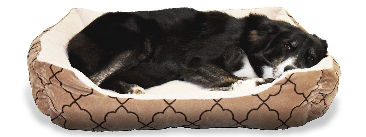 border-collie-in-dog-bed