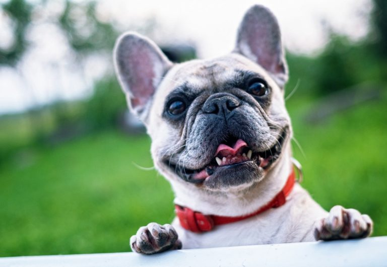 Best Harness for French Bulldogs [2021 Review]