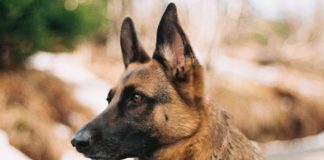 Best Collar for German Shepherd