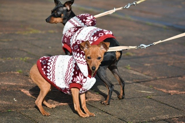 Two Miniature Pinschers with coats