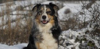 German Australian Shepherd