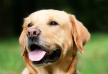 happy labrador retriever dog