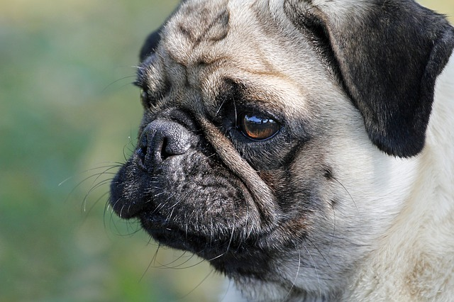 10 Best and Cutest Wrinkly Dog Breeds in 2021