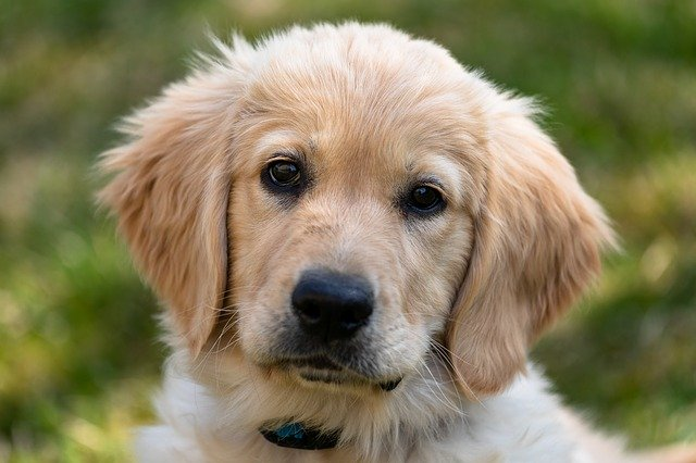 5 Best Brushes for Golden Retrievers in 2021