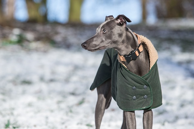 whippet dog with a coat