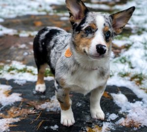Australian Shepherd and Corgi Mix