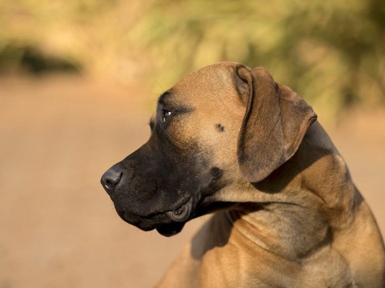 Best Dog Food For Mastiffs in 2021